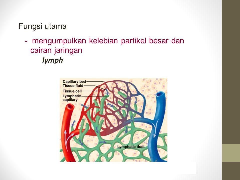 Fungsi utama - mengumpulkan kelebian partikel besar dan cairan jaringan lymph