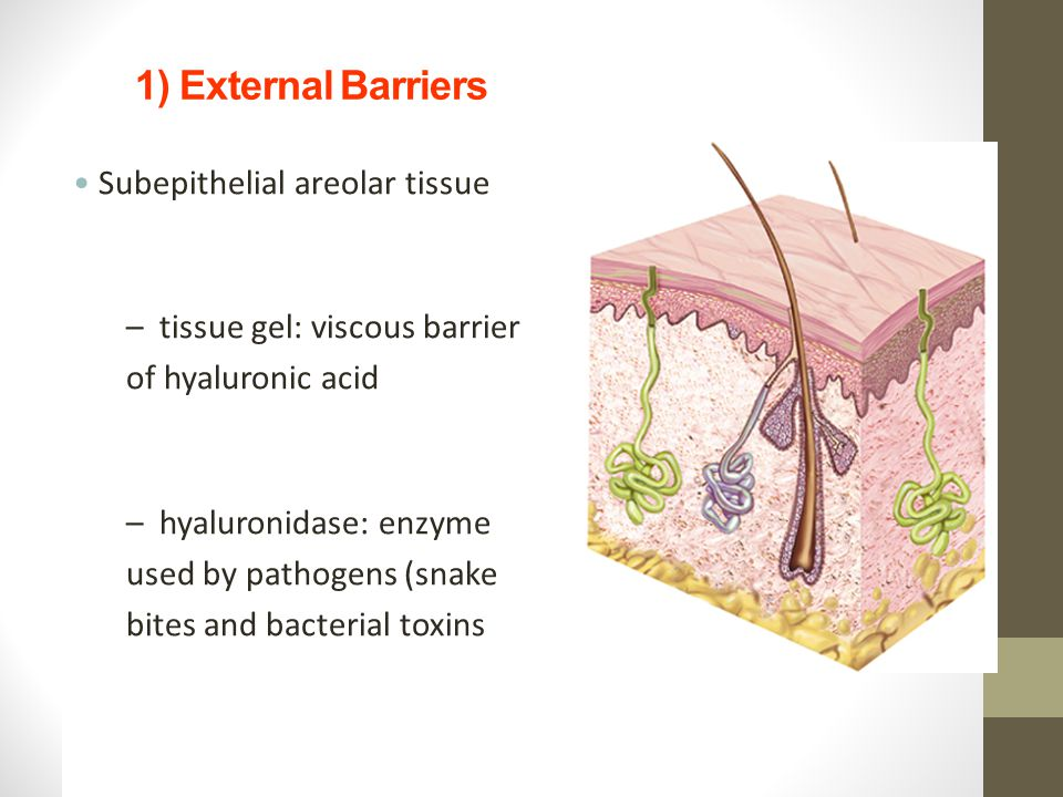 1) External Barriers Subepithelial areolar tissue Skin