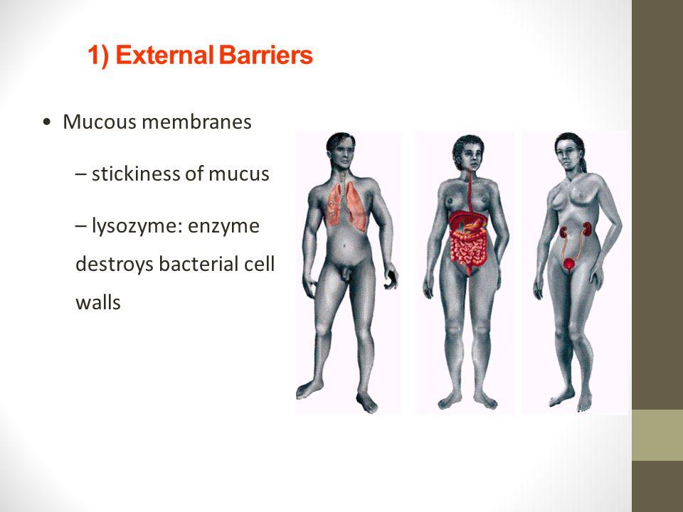 1) External Barriers Mucous membranes stickiness of mucus