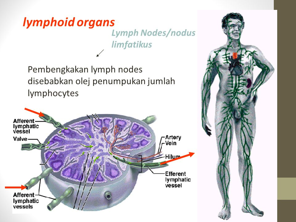 lymphoid organs Lymph Nodes/nodus limfatikus