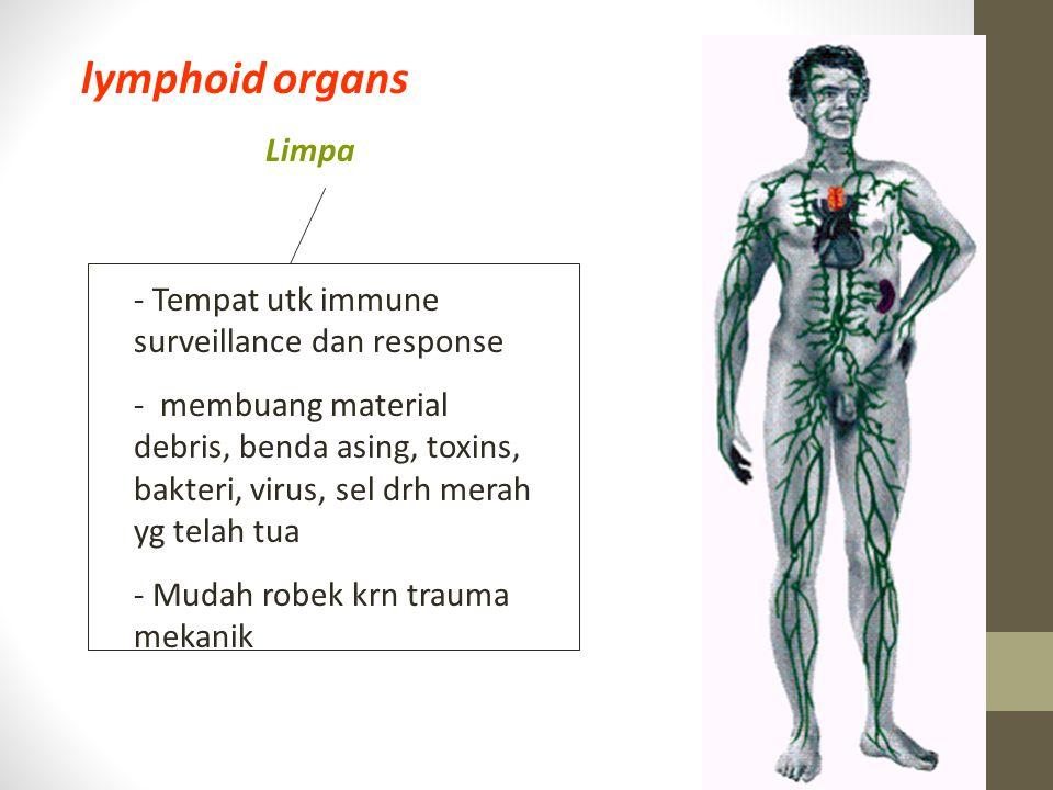 lymphoid organs Limpa Tempat utk immune surveillance dan response