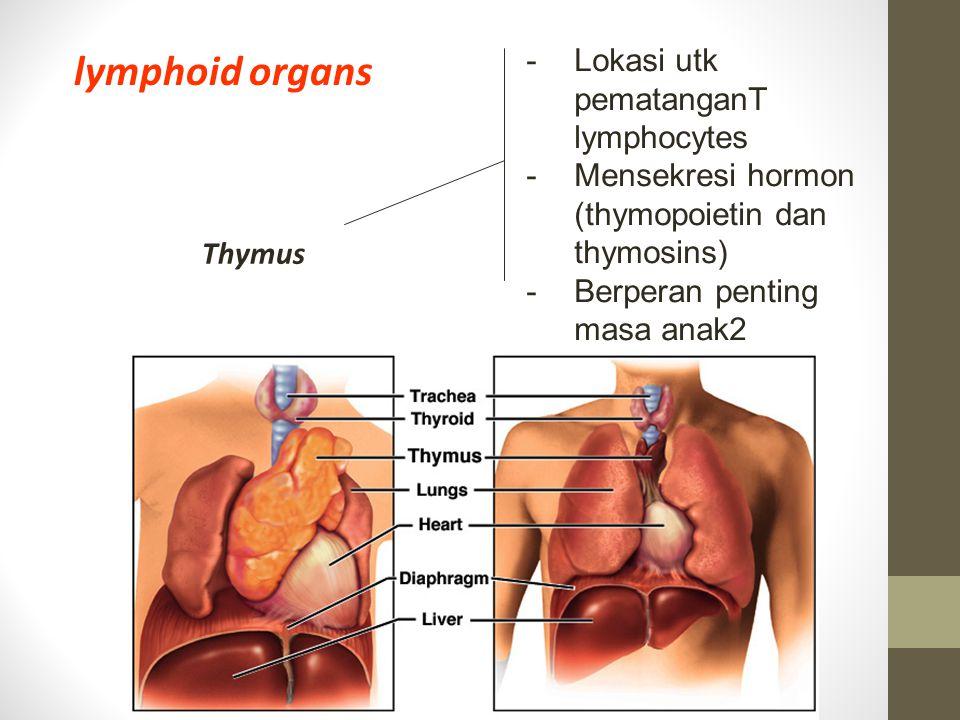 lymphoid organs Lokasi utk pematanganT lymphocytes