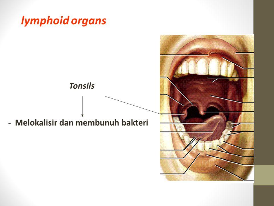 lymphoid organs Tonsils - Melokalisir dan membunuh bakteri