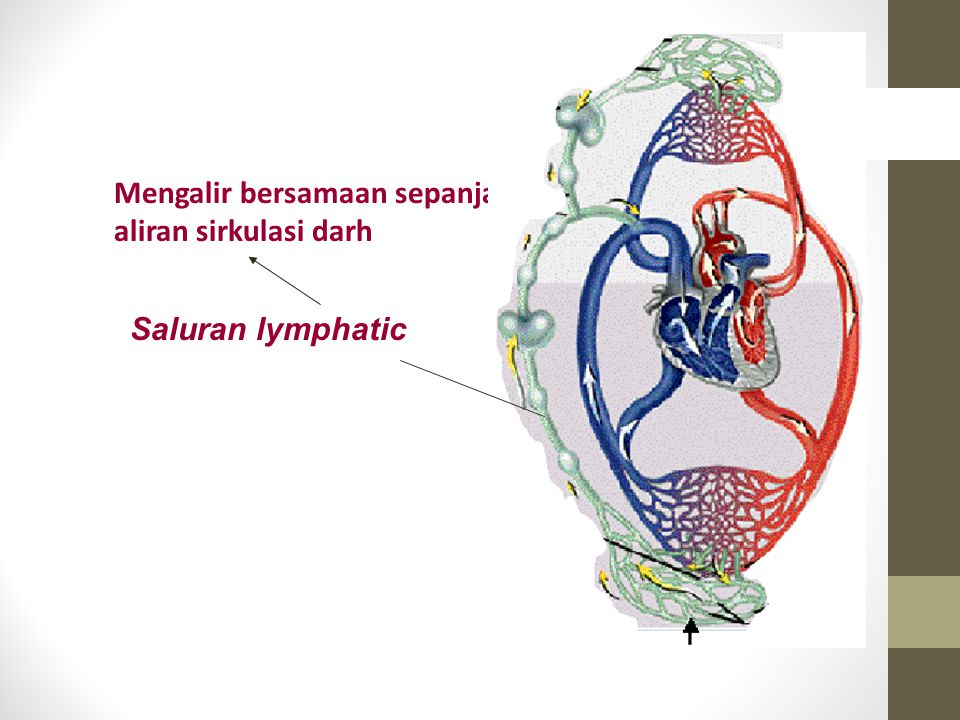 Mengalir bersamaan sepanjang aliran sirkulasi darh
