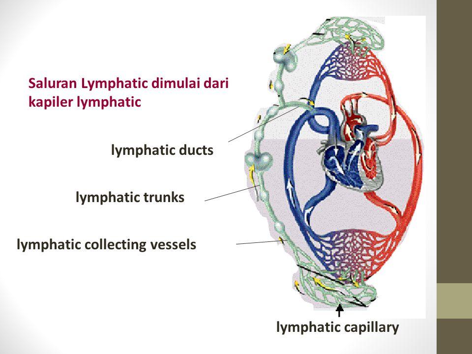 Saluran Lymphatic dimulai dari kapiler lymphatic
