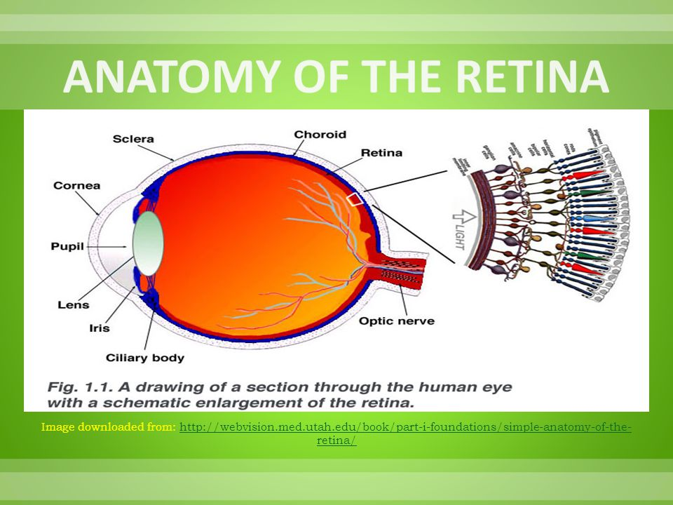 ANATOMY OF THE RETINA Image downloaded from: http://webvision.med.utah.edu/book/part-i-foundations/simple-anatomy-of-the-retina/