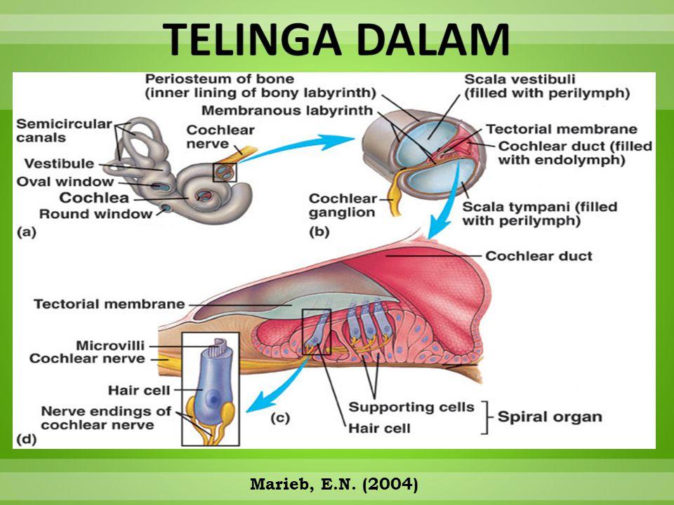 TELINGA DALAM Marieb, E.N. (2004)