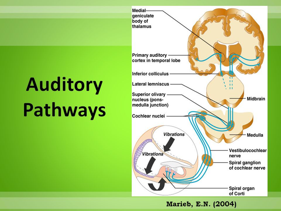 Auditory Pathways Marieb, E.N. (2004)