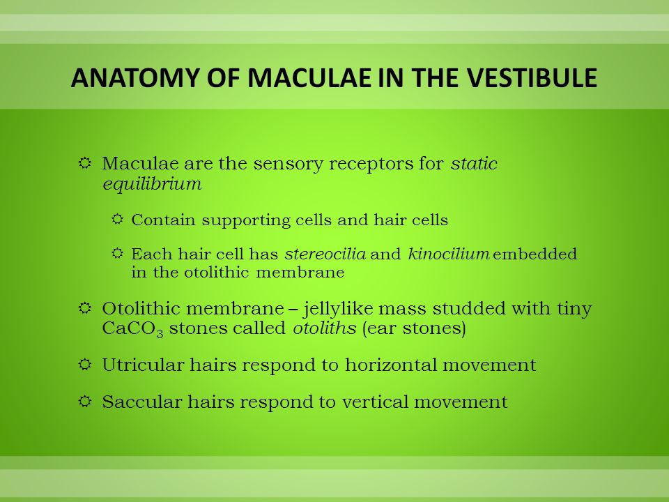 Anatomy of Maculae in the Vestibule