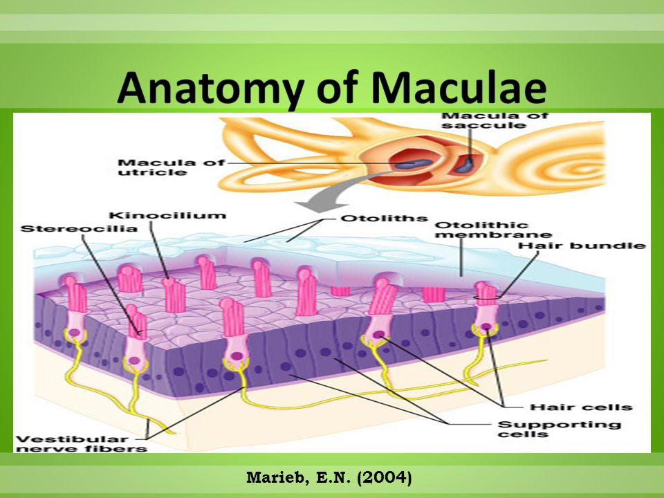 Anatomy of Maculae Marieb, E.N. (2004)