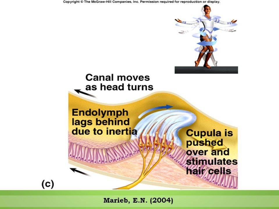 Semicircular Canals Respond to Rotational Movements