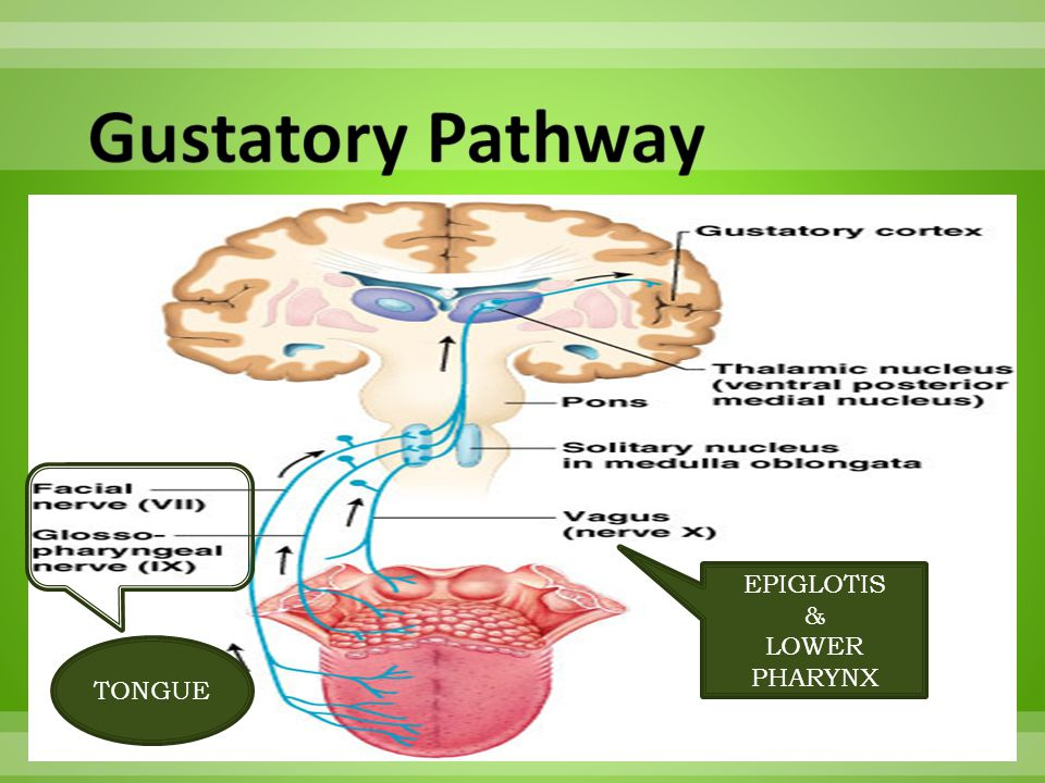 Gustatory Pathway EPIGLOTIS & LOWER PHARYNX TONGUE