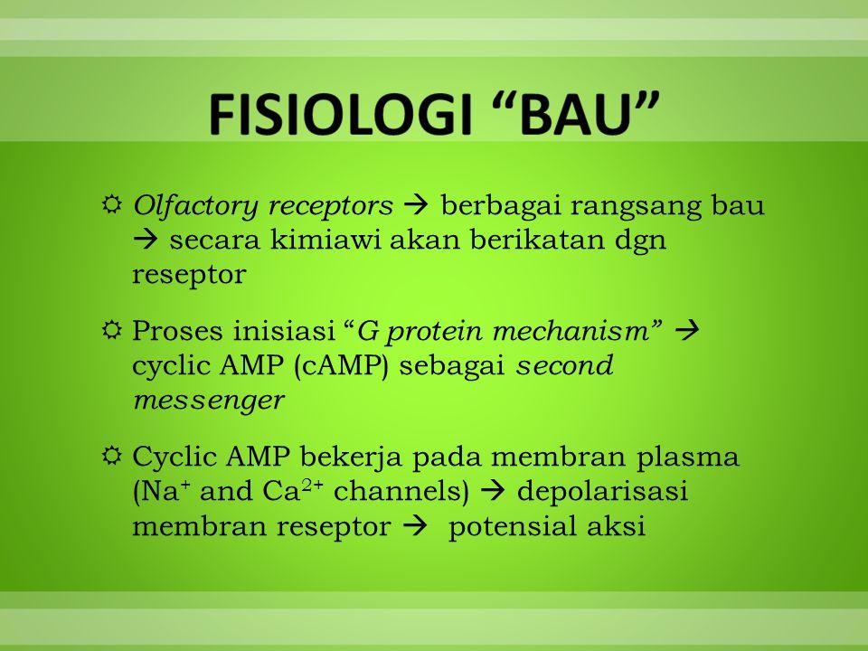 FISIOLOGI BAU Olfactory receptors  berbagai rangsang bau  secara kimiawi akan berikatan dgn reseptor.