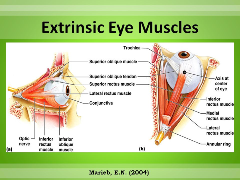 Extrinsic Eye Muscles Marieb, E.N. (2004)