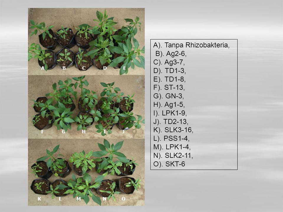 A). Tanpa Rhizobakteria, B). Ag2-6, C). Ag3-7, D). TD1-3, E). TD1-8,