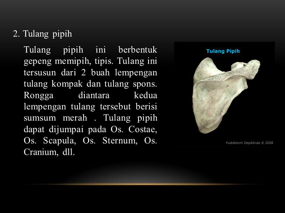 2. Tulang pipih