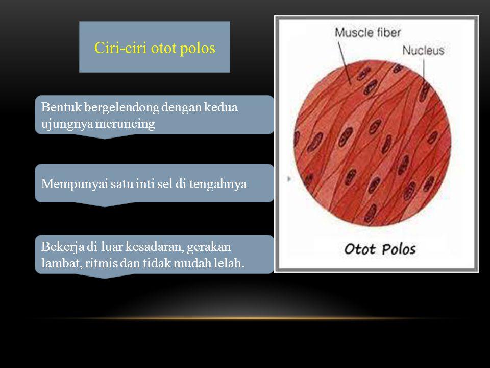 Ciri-ciri otot polos Bentuk bergelendong dengan kedua ujungnya meruncing. Mempunyai satu inti sel di tengahnya.