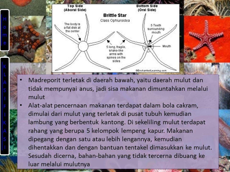 Home KLASIFIKASI. Madreporit terletak di daerah bawah, yaitu daerah mulut dan tidak mempunyai anus, jadi sisa makanan dimuntahkan melalui mulut.