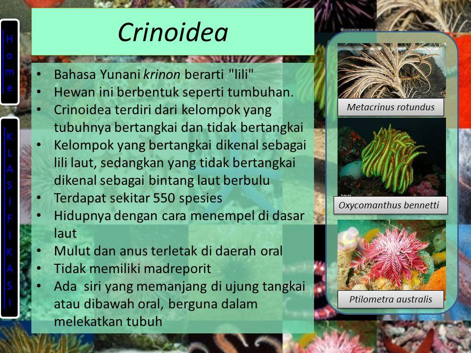 Crinoidea Bahasa Yunani krinon berarti lili