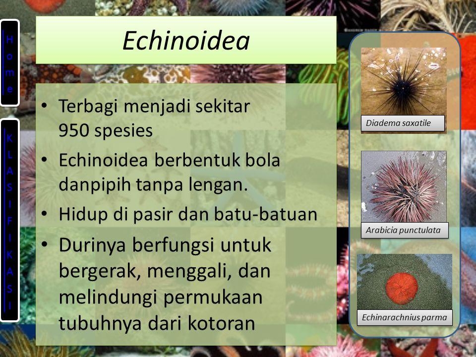 Echinoidea Home. Terbagi menjadi sekitar 950 spesies. Echinoidea berbentuk bola danpipih tanpa lengan.