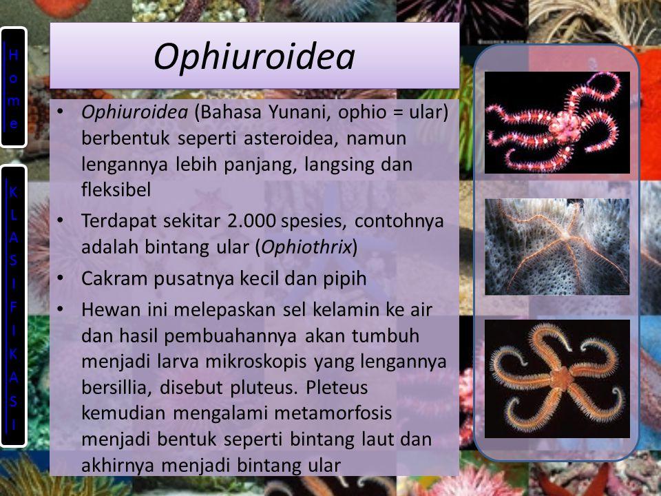 Ophiuroidea Cakram pusatnya kecil dan pipih