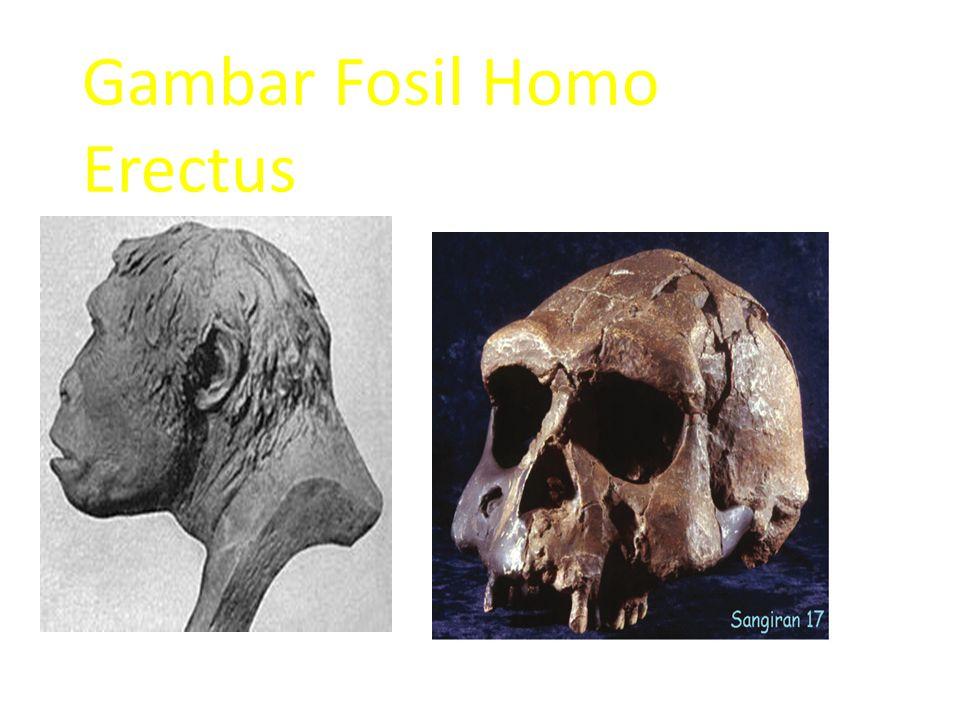 Gambar Fosil Homo Erectus