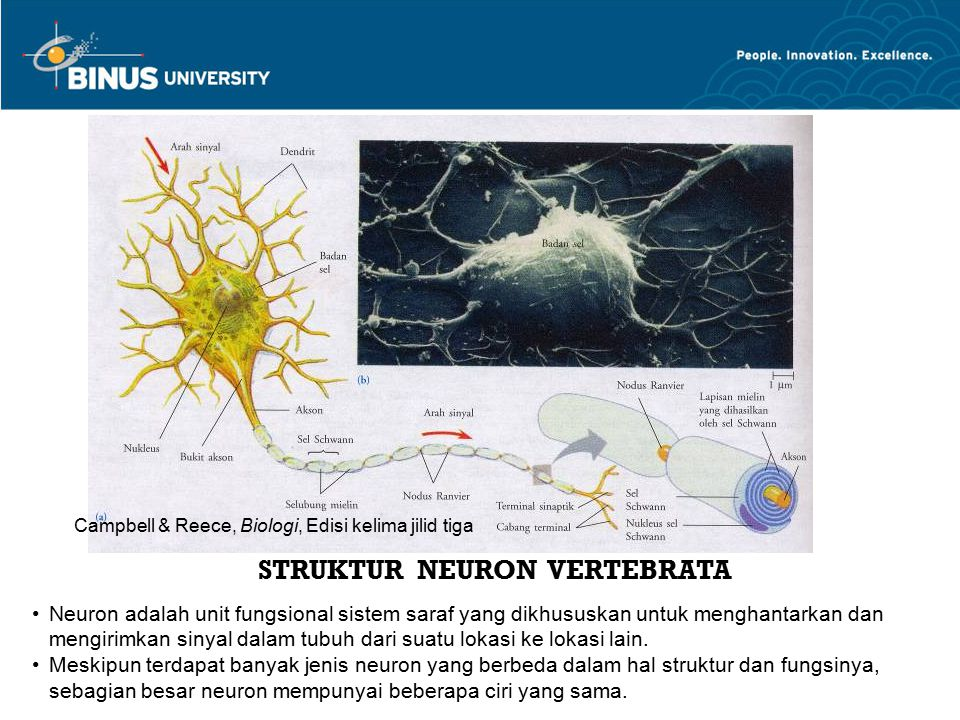 STRUKTUR NEURON VERTEBRATA