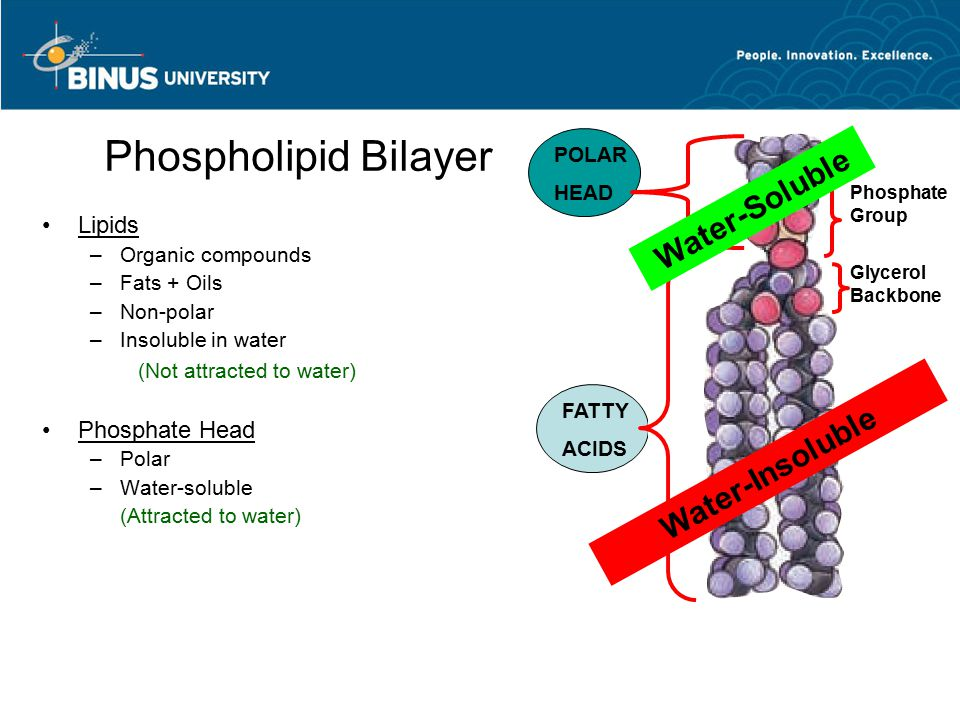 Phospholipid Bilayer Water-Soluble Water-Insoluble Lipids