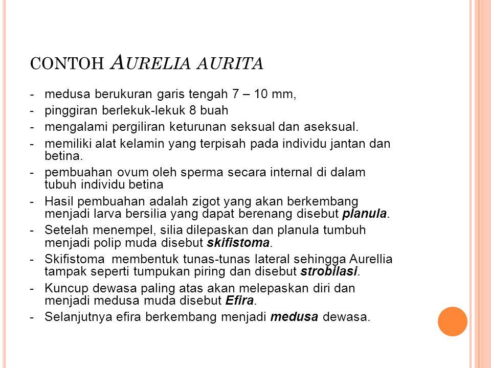 contoh Aurelia aurita - medusa berukuran garis tengah 7 – 10 mm,