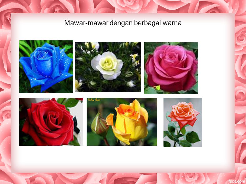 Mawar-mawar dengan berbagai warna
