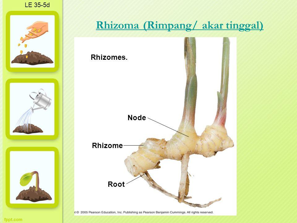 Rhizoma (Rimpang/ akar tinggal)