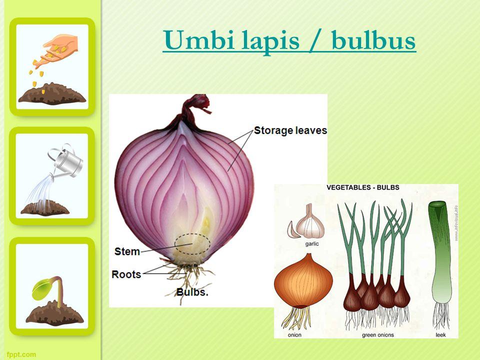 Umbi lapis / bulbus