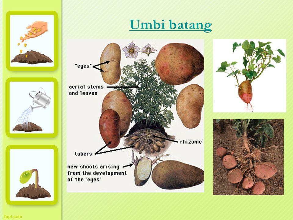 Umbi batang