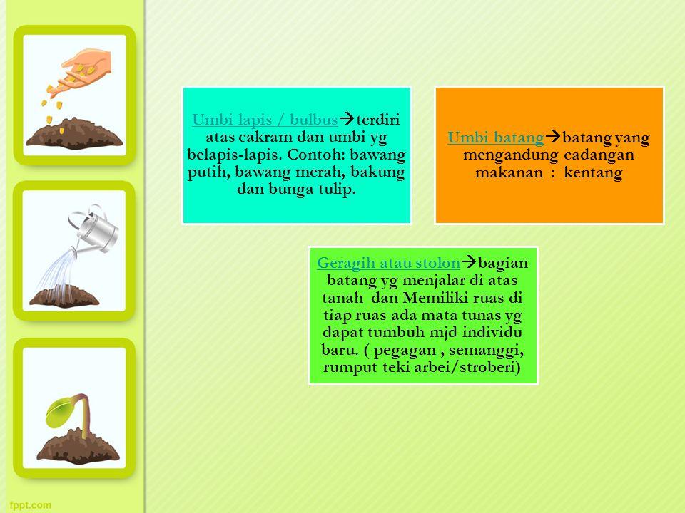 Umbi batangbatang yang mengandung cadangan makanan : kentang