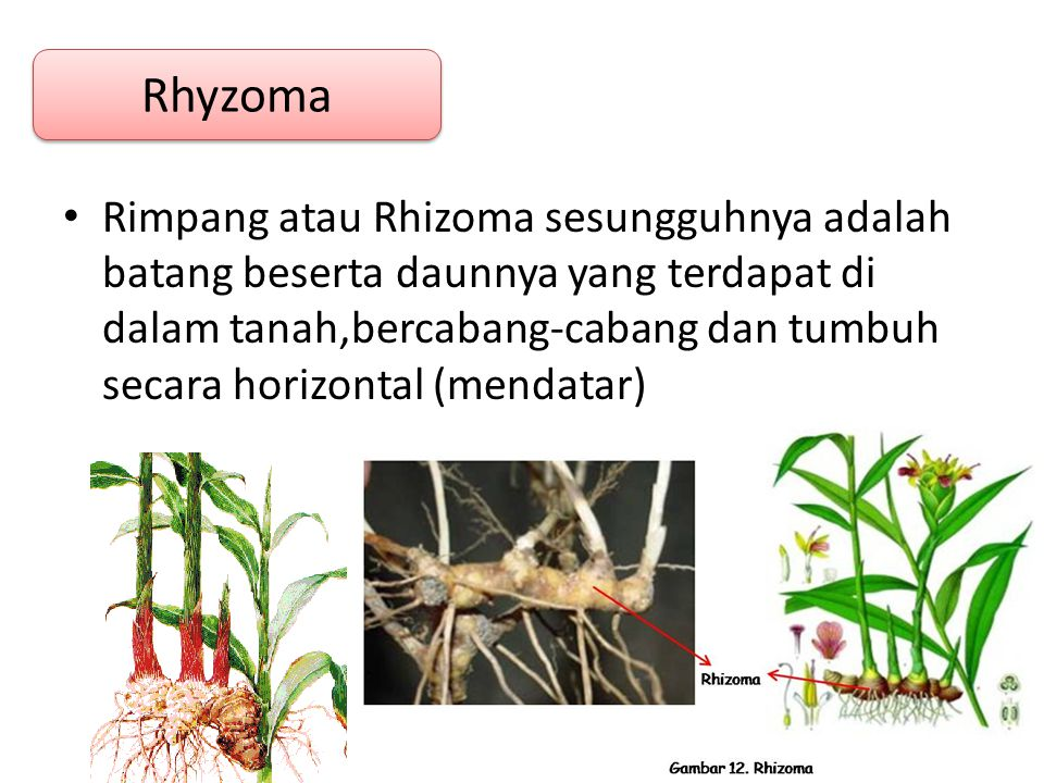 Rhyzoma