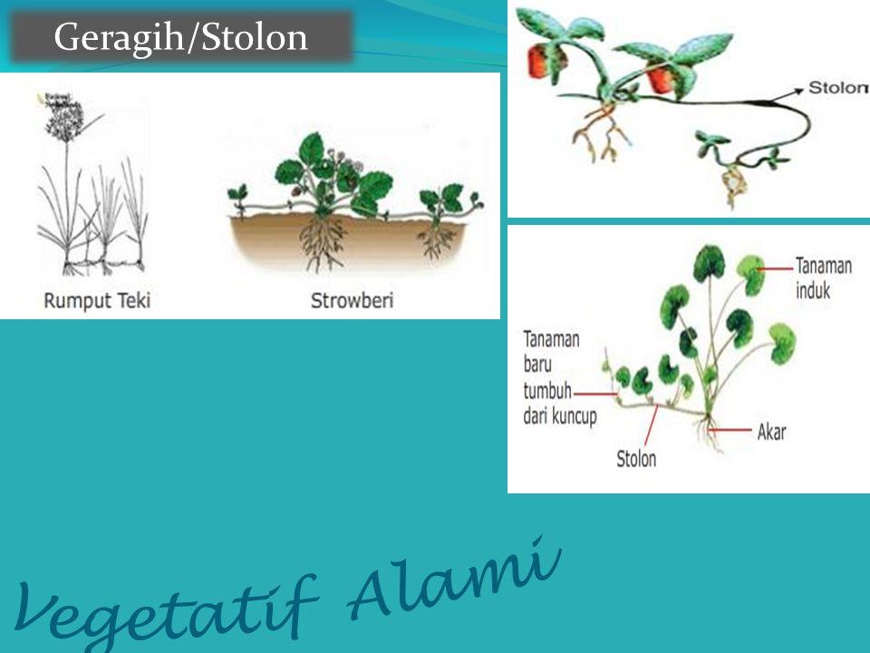 Geragih/Stolon Vegetatif Alami