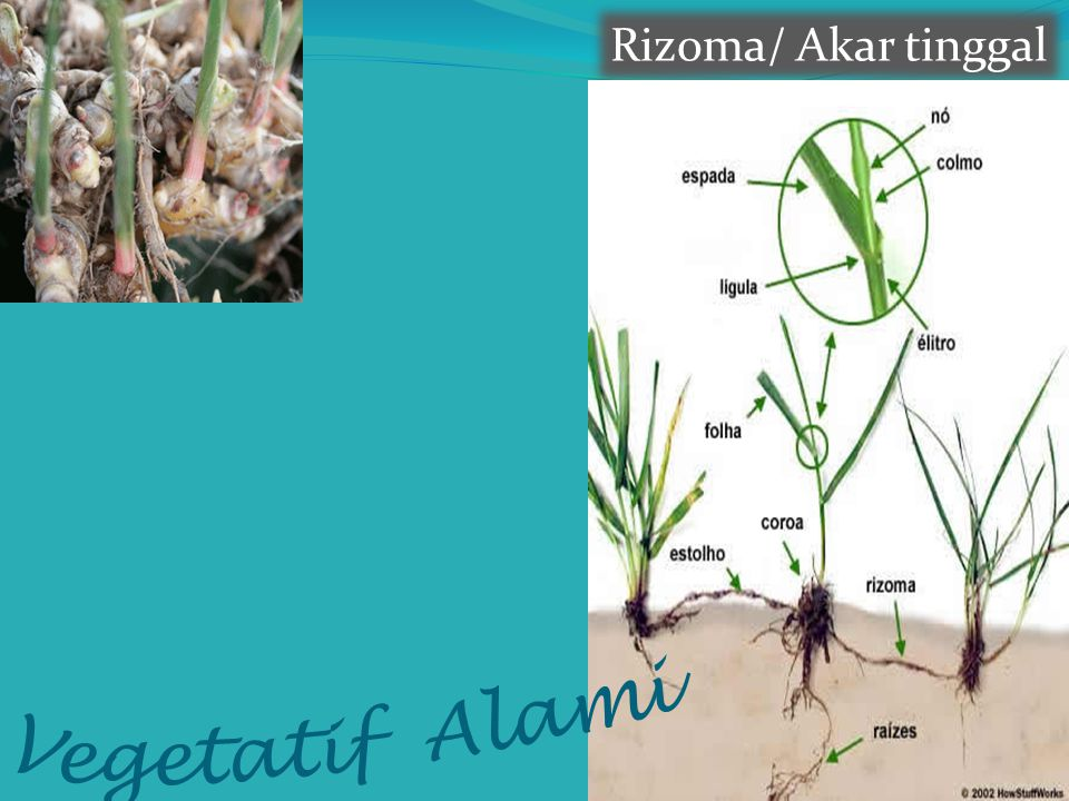 Rizoma/ Akar tinggal Vegetatif Alami