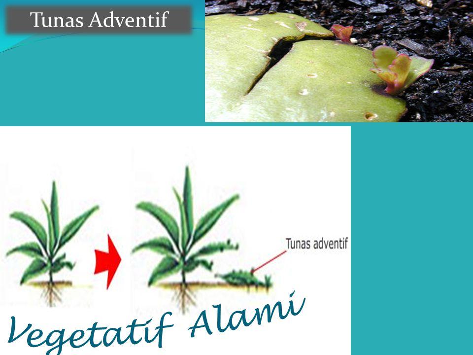 Tunas Adventif Vegetatif Alami
