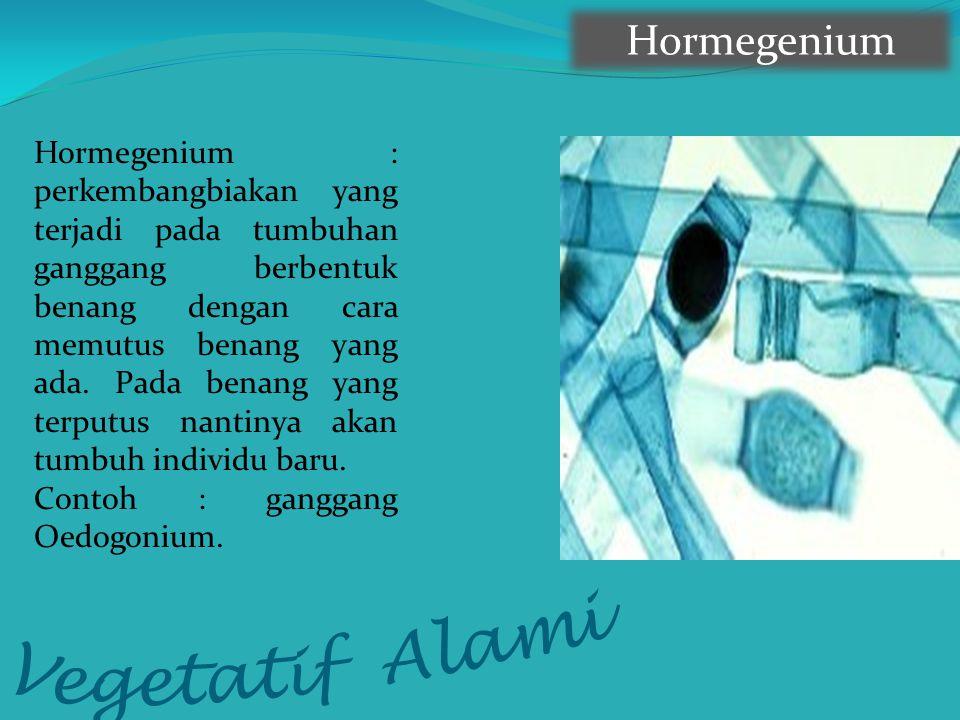 Vegetatif Alami Hormegenium