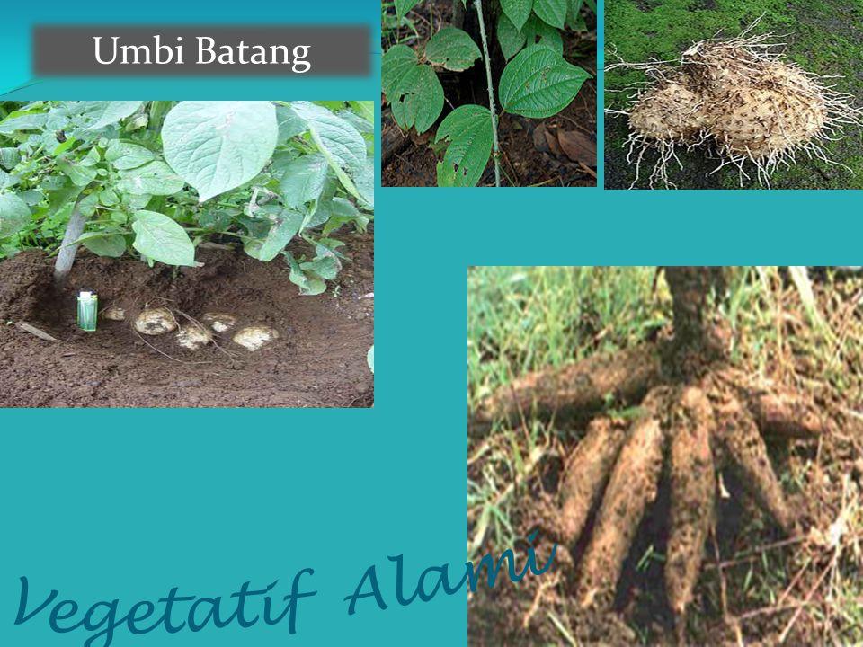 Umbi Batang Vegetatif Alami