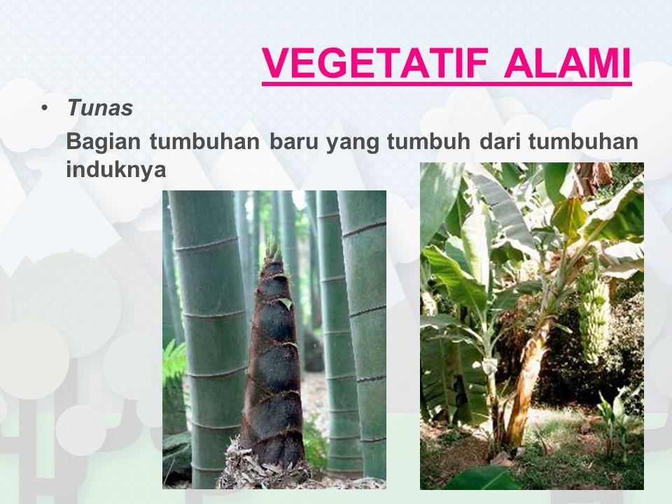 VEGETATIF ALAMI Tunas Bagian tumbuhan baru yang tumbuh dari tumbuhan induknya