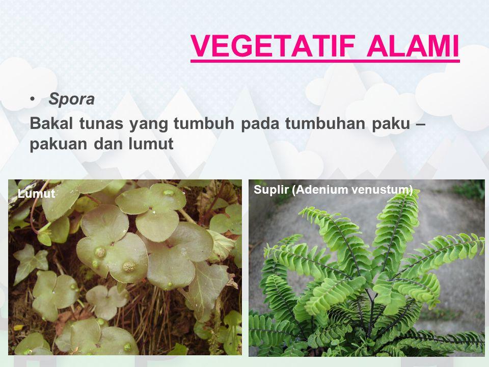 VEGETATIF ALAMI Spora. Bakal tunas yang tumbuh pada tumbuhan paku – pakuan dan lumut. Suplir (Adenium venustum)