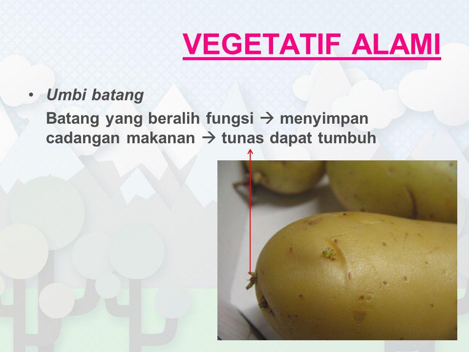 VEGETATIF ALAMI Umbi batang