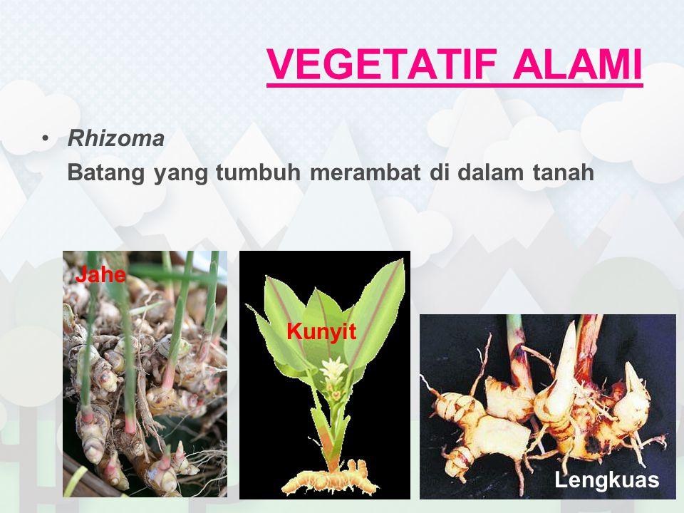 VEGETATIF ALAMI Rhizoma Batang yang tumbuh merambat di dalam tanah