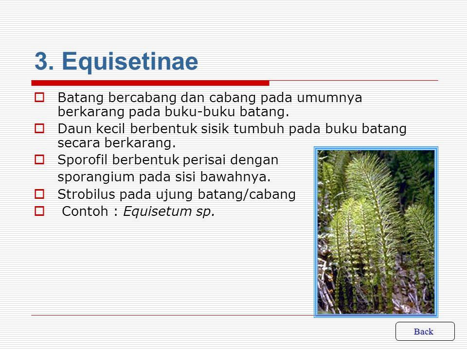 3. Equisetinae Batang bercabang dan cabang pada umumnya berkarang pada buku-buku batang.