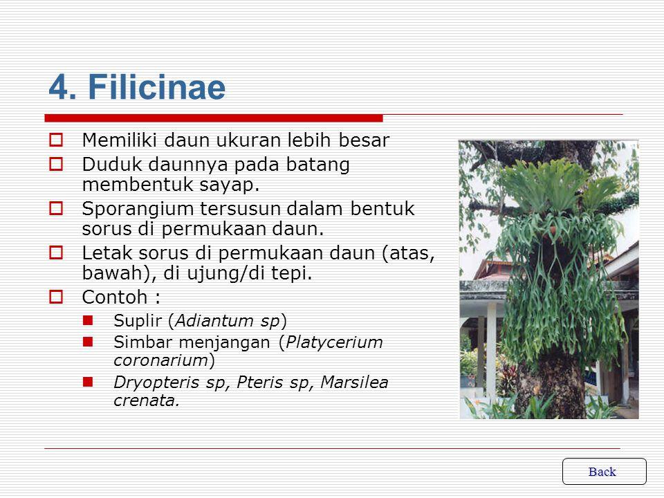 4. Filicinae Memiliki daun ukuran lebih besar