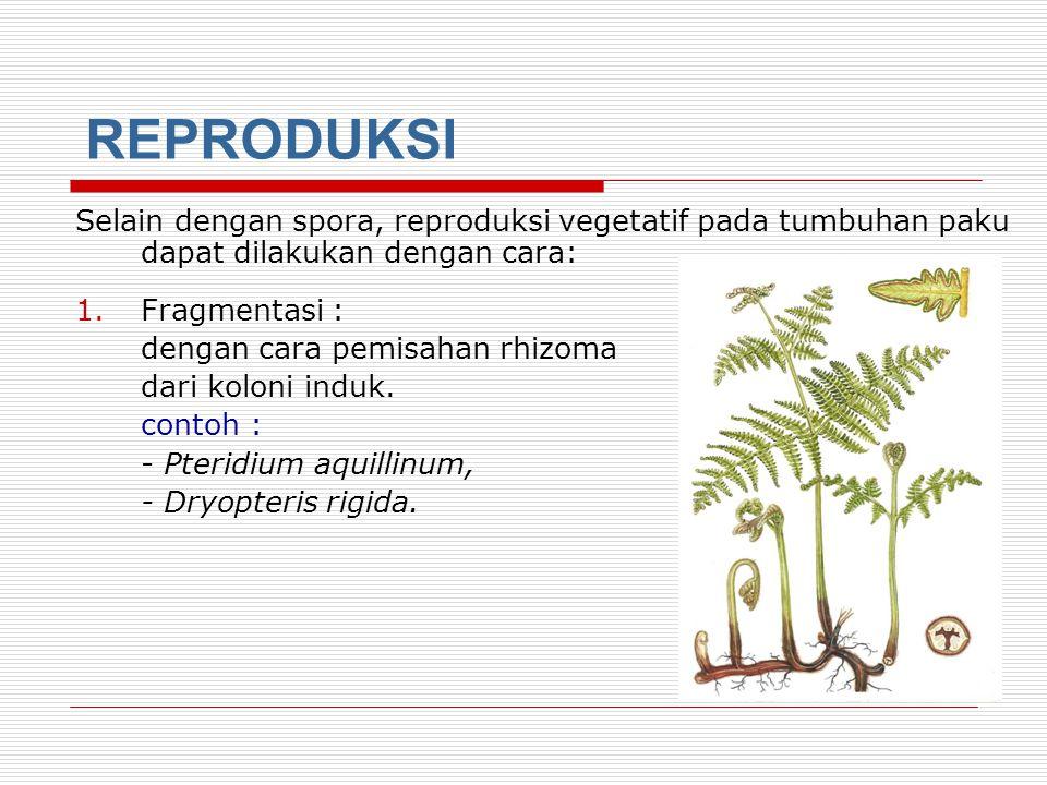 REPRODUKSI Selain dengan spora, reproduksi vegetatif pada tumbuhan paku dapat dilakukan dengan cara: