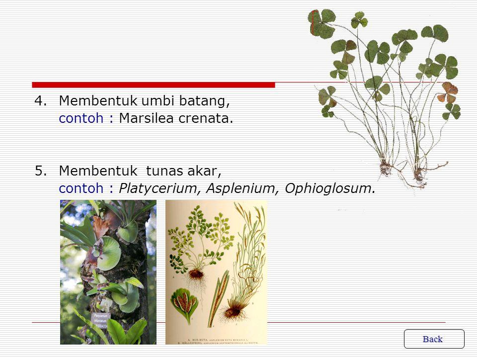 4. Membentuk umbi batang, contoh : Marsilea crenata. 5