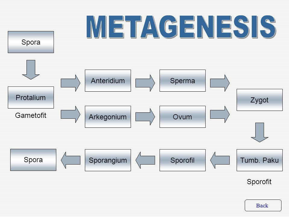 METAGENESIS Spora Anteridium Sperma Protalium Zygot Arkegonium Ovum