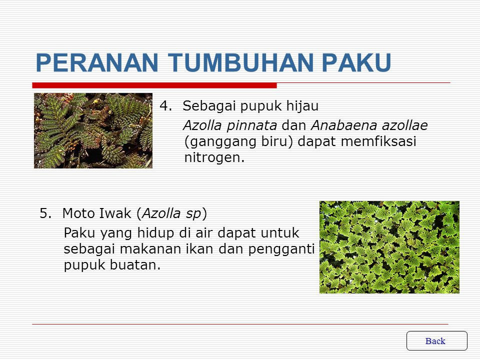 PERANAN TUMBUHAN PAKU 4. Sebagai pupuk hijau Azolla pinnata dan Anabaena azollae (ganggang biru) dapat memfiksasi nitrogen.